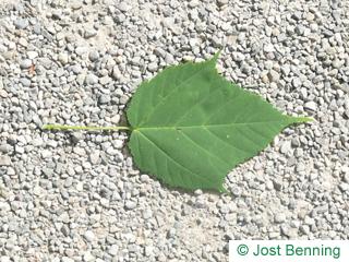 Lockerblütiger Ahorn Blatt eiförmig