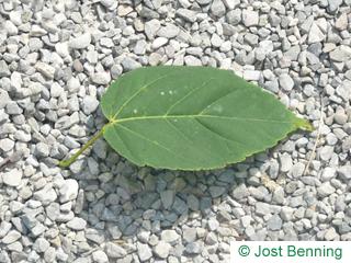 Vermont-Ahorn Blatt eiförmig