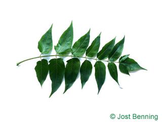 Götterbaum Blatt zusammengesetzt