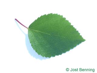Blau-Birke Blatt eiförmig
