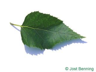 Papier-Birke Blatt eiförmig