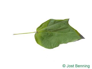 Rotblättriger Catalpa Blatt gelappt