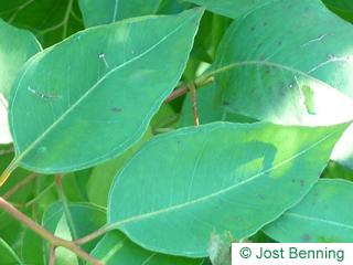Grauer Eisenholz Eukalyptus Blatt eiförmig