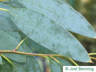 Schnee-Eukalyptus Blatt länglich