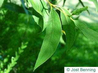 Weißer Mahagoni Eukalyptus Blatt länglich
