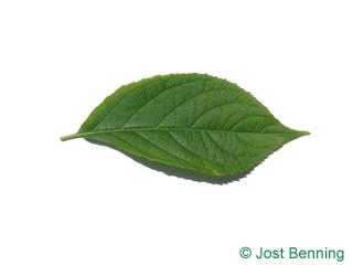 Guttaperchabaum Blatt eiförmig