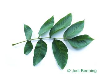 Walnussbaum Blatt zusammengesetzt