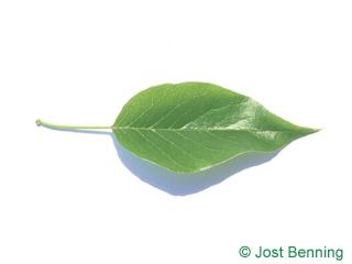 Osagedorn Blatt eiförmig