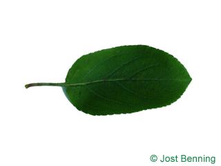 Holz-Apfel Blatt eiförmig