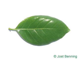 Tupelobaum Blatt eiförmig