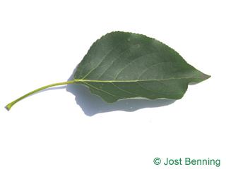 Balsam-Pappel Blatt eiförmig