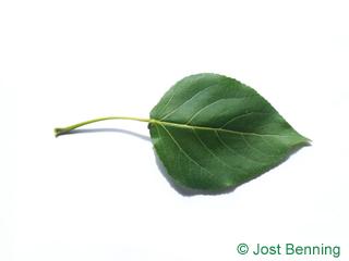 Kanadische Pappel Blatt dreieckig