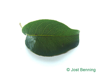 Birne Blatt eiförmig