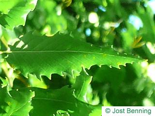 Mazedonische Eiche Blatt eiförmig