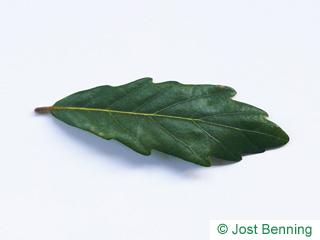 Immergrüne Eiche Blatt gebuchtet