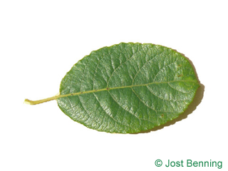 Sal-Weide Blatt eiförmig
