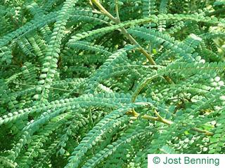 Feinblätteriger Schnurbaum Blatt zusammengesetzt