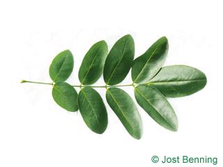 Schnurbaum Blatt zusammengesetzt