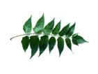 Zebrano baum blatt  Blattbestimmung.de | Blattbestimmung | Blätter von Bäumen bestimmen