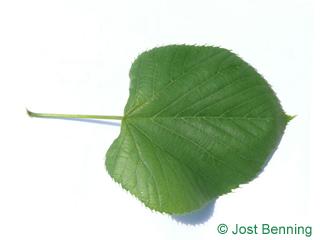 Amerikanische Linde Blatt herzförmig