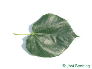 Krim-Linde Blatt herzförmig