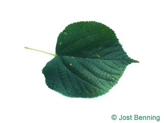 Holländische Linde Blatt herzförmig