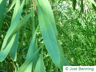 Wasser-Akazie Blatt länglich
