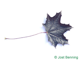 Rotblättriger Spitz-Ahorn Blatt gelappt
