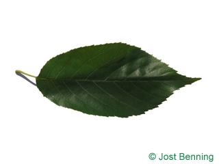 Purpur-Erle Blatt eiförmig