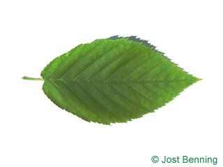 Gelb-Birke Blatt eiförmig
