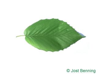 Zucker-Birke Blatt eiförmig