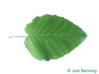 Lindenblättrige Birke Blatt eiförmig