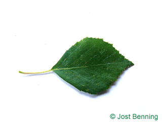 Hänge-Birke Blatt eiförmig