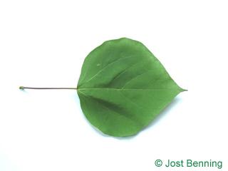 Trompetenbaum Blatt herzförmig