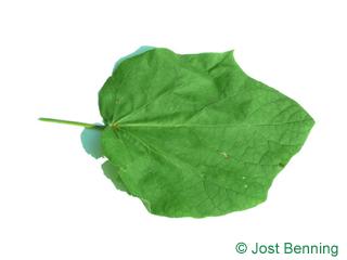 Kleinblütiger Trompetenbaum Blatt herzförmig
