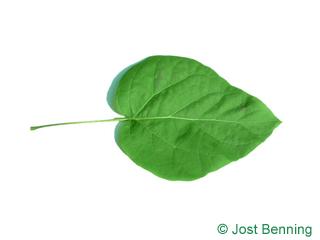Prächtiger Trompetenbaum Blatt herzförmig