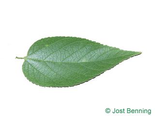 Zürgelbaum, amerikanischer Blatt eiförmig