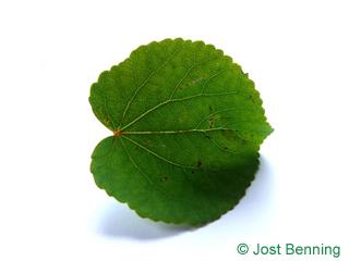 Japanischer Kuchenbaum Blatt rundlich
