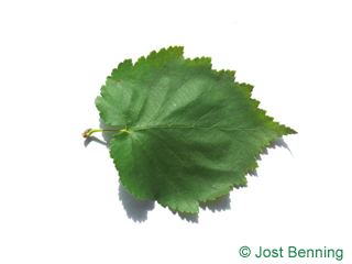 Baumhasel Blatt herzförmig