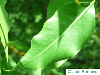 Gesprenkelter Eukalyptus Blatt länglich
