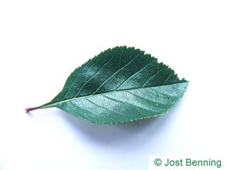 Zweigriffliger Weißdorn Blatt eiförmig