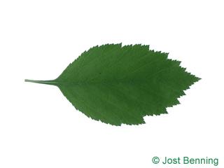 Weichhaariger Weißdorn Blatt eiförmig
