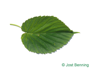 Taschentuchbaum Blatt eiförmig