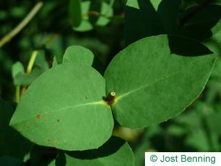 Tasmanischer Schneeeukalyptus Blatt eiförmig