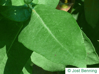 Blaugummibaum Blatt eiförmig