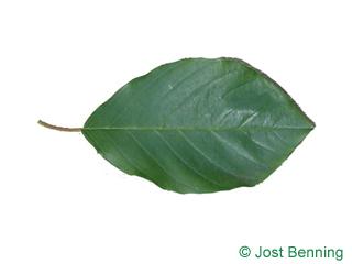 Faulbaum Blatt eiförmig