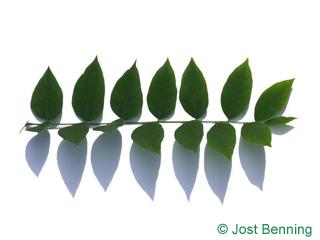 Geweihbaum Blatt zusammengesetzt