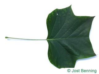 Tulpenbaum Blatt gelappt
