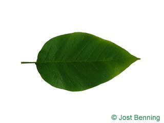 Gurken Magnolie Blatt eiförmig