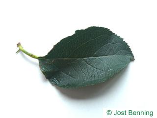 Apfelbaum Blatt eiförmig